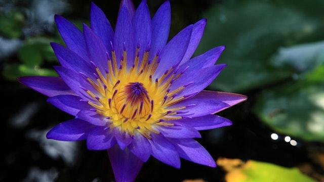 lotusbloem blauw