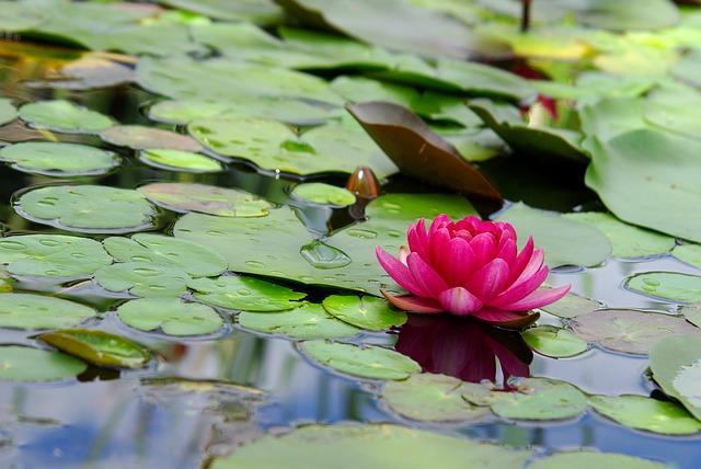 lotusbloem vijver