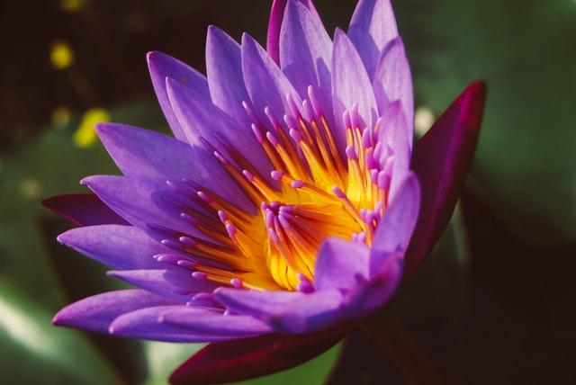 lotusbloem paars