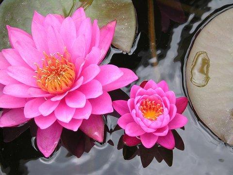 lotusbloem roze