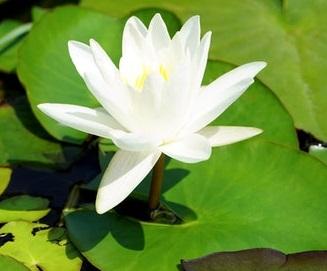 lotus plant wit